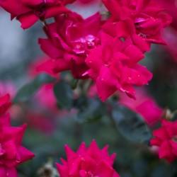 Blossoms on rose bush