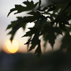Tree leaves at sunset