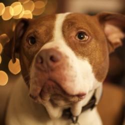 Red nose reindog