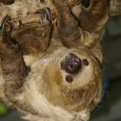 Sloth looking up