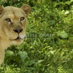 White lioness peeks