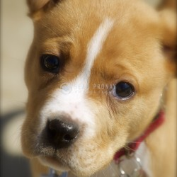 Golden pitbull puppy