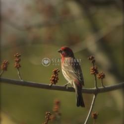 Redhead house finch