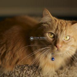 Orange LHD cat