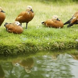 Ducks beside water