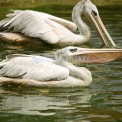 Pelicans afloat